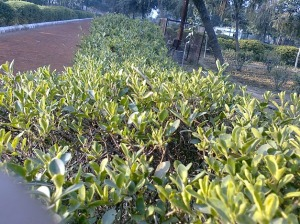 Hedges in my favourite Park, Dwarka-Delhi, India