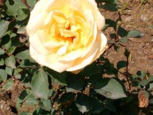 National Rose Garden Society-New Delhi