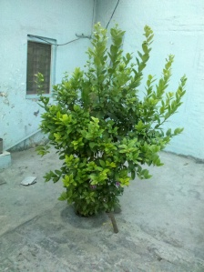Lemon tree at the backyard of an house-Hapu, UP, India