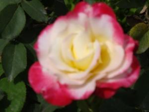 RoseGarden@Daughters