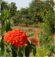Flowers in Angel School-Vyara, Gujrat, India.